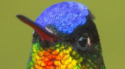 This Bird's Stunning Plumage Is Visible Only In The Right
