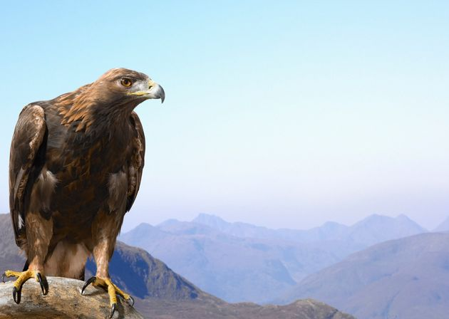 Golden eagles are far more likely to be killed by wind turbines than their closely-related cousin,...