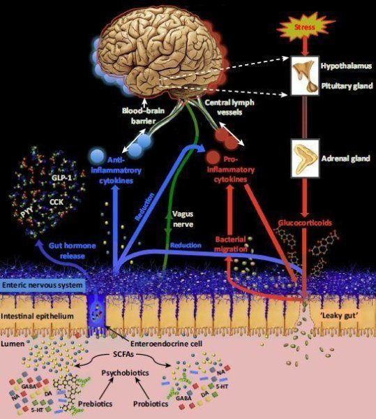 Adiagram created by the Oxford researchers shows how psychobiotics work on the gut and