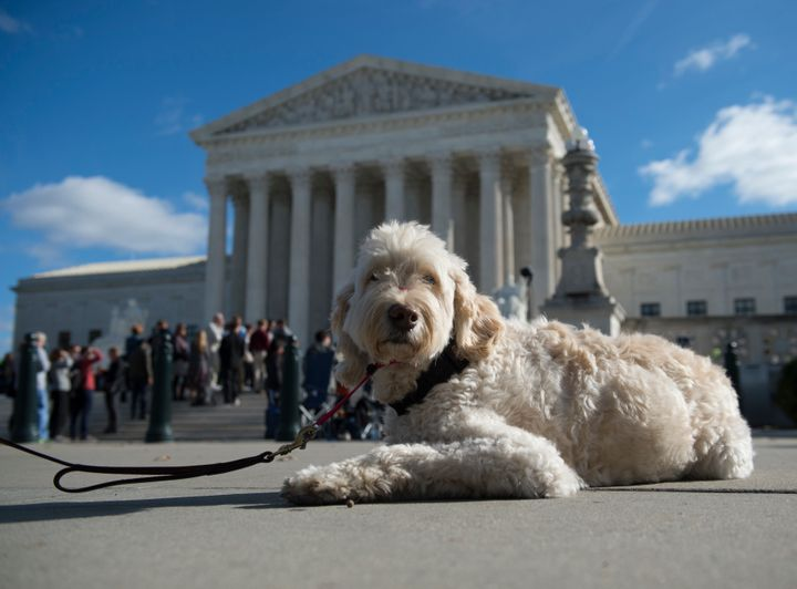 Wonder, the retired service dog for Ehlena, waits outside the Supreme Court for oral arguments to conclude.