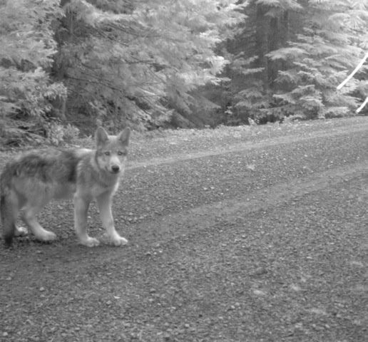 Wolf OR7, the most famous wolf in the west