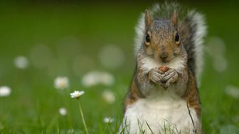 Gray squirrel (Sciurus carolinensis) sitting in grass with daisies,eating nut