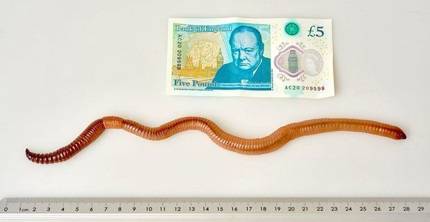 Dave the earthworm measured an astonishing 15.7