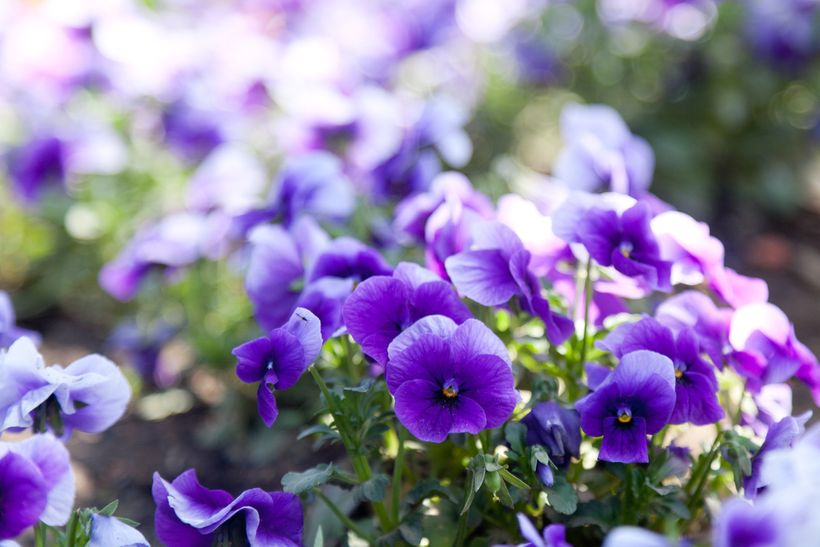 Violets are often utilized as a common aroma descriptor by wine industry professionals. But not everyone experiences the arom