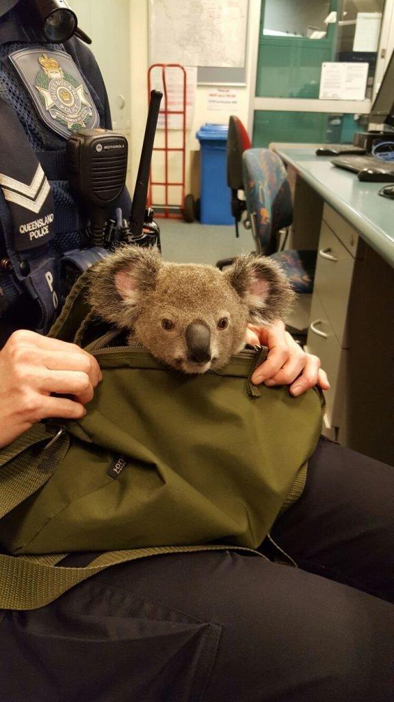Cops Find Adorable Koala Inside Wanted Woman's Bag