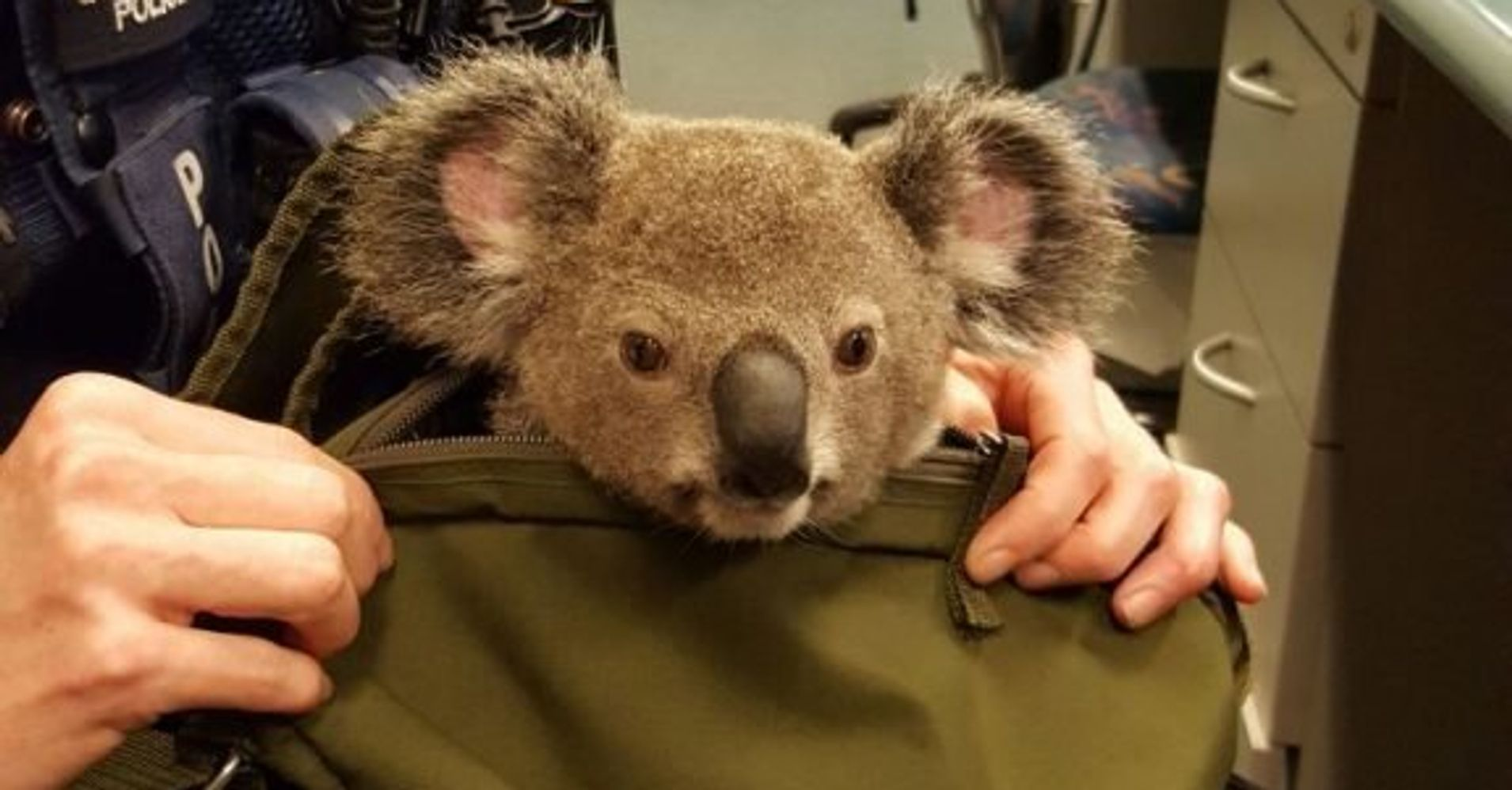 stowaway koala survives mile ride hidden behind car s wheel   cops adorable koala inside wanted w s bag