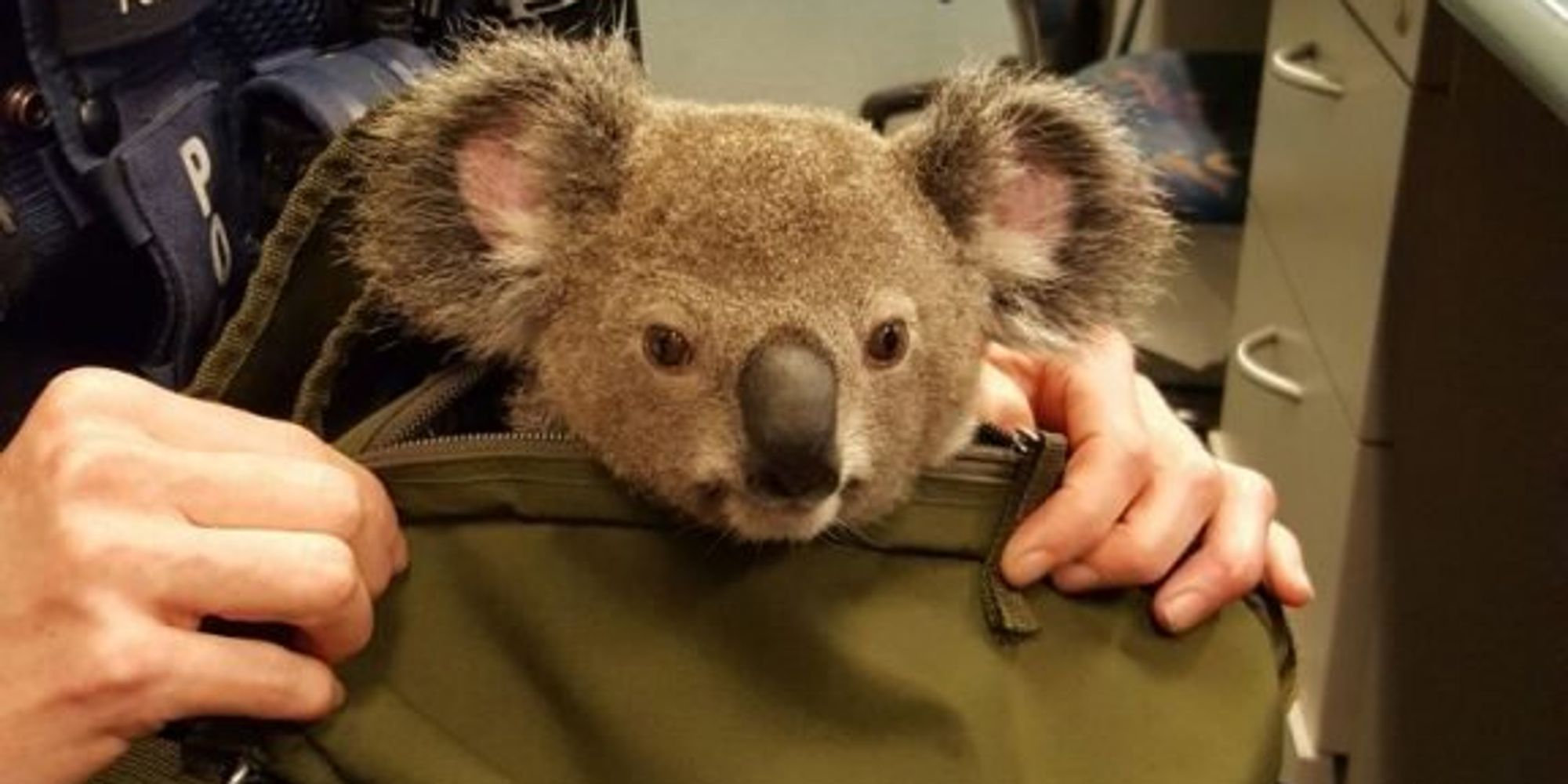 cops adorable koala inside wanted w s bag the cops adorable koala inside wanted w s bag the huffington post