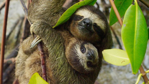 A pygmy sloth family has never looked so