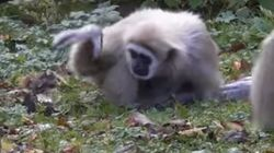 Watch These Gibbons Hilariously Shoo Away A