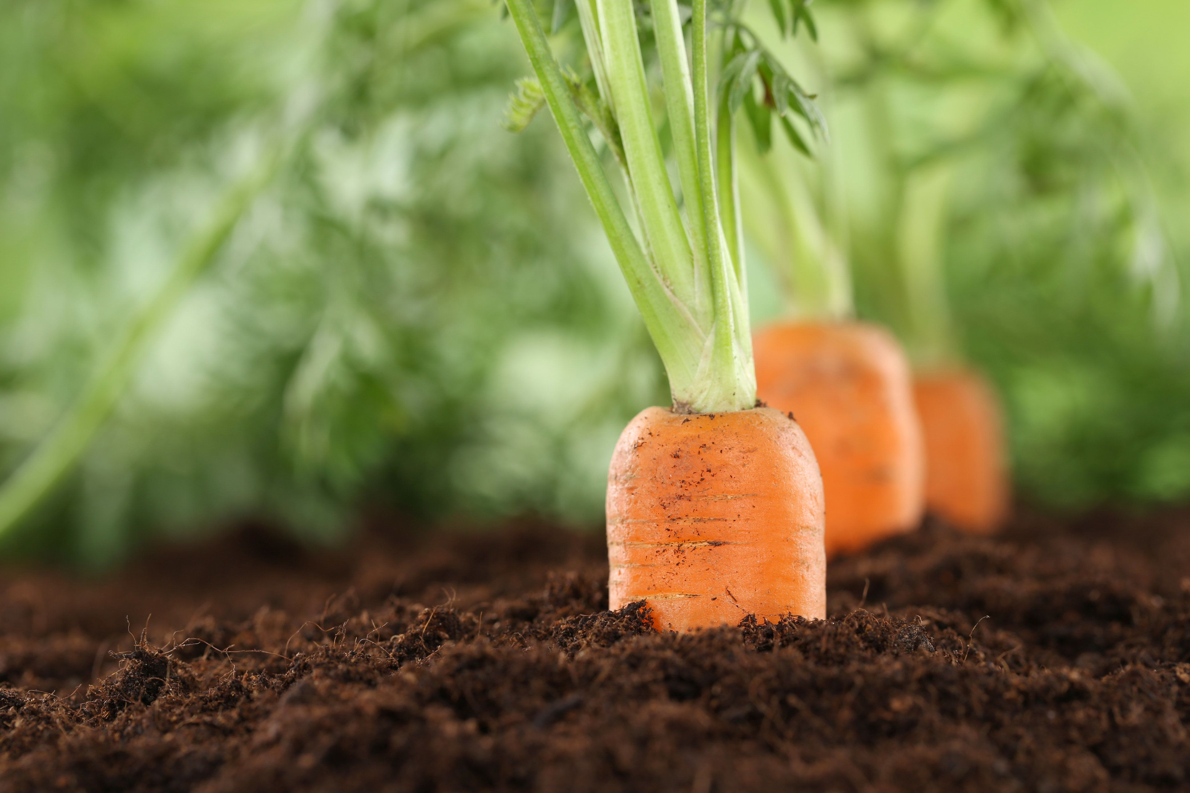Healthy eating ripe carrots in vegetable garden in nature