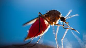 Closeup of mosquito biting human arm.