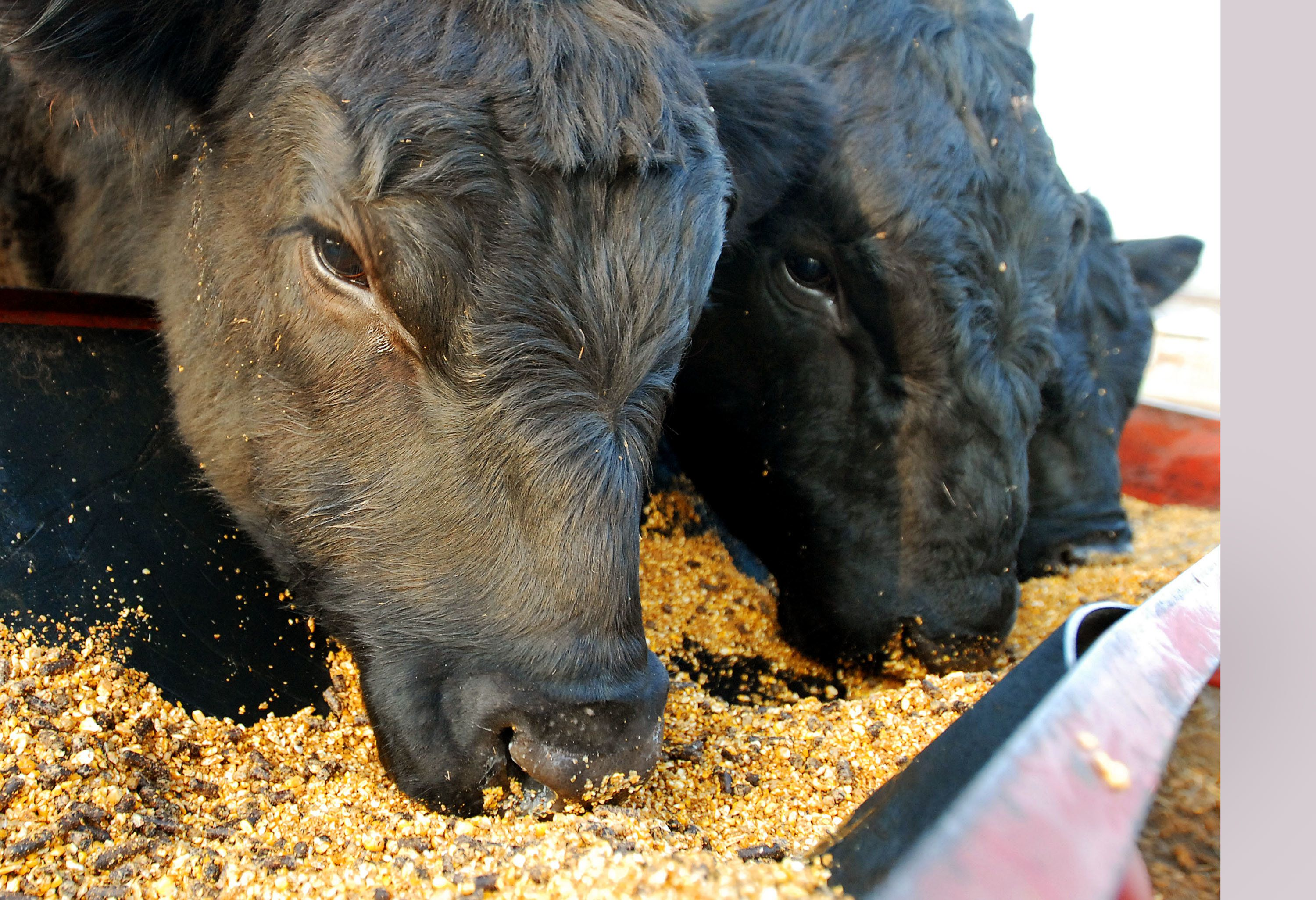 OWASSO, OK - MARCH 13:  Maine-Anjou bulls feed on a fattener feed that includes corn at Kornegay Cattle Co. March 13, 2007 in Owasso, Oklahoma. Kornegay is in the midst of the spring calving season when he normally doubles the feed for his cattle. But rising corn prices have forced him to cut feed by half.  (Photo by Brandi Simons/Getty Images)