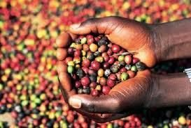 Angola Coffee Beans