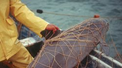 Mexico Makes A 'Risky' Last-Ditch Attempt To Save The Vaquita, The World's Smallest