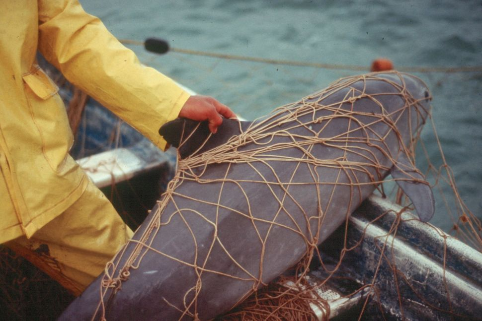 A critically endangered vaquita entangled in a gill net.