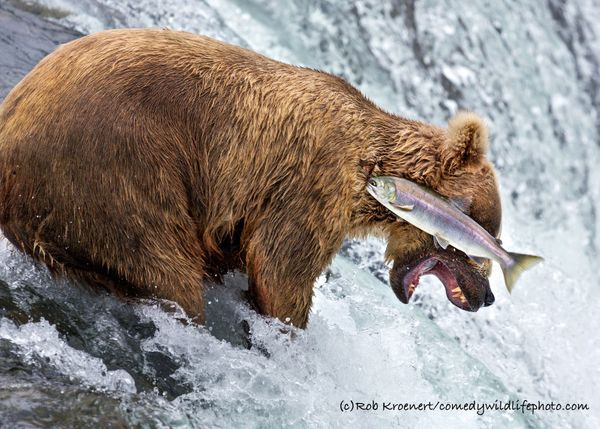 'Grizzly Bear Fail': Highly Commended 2016 © Rob Kroenert
