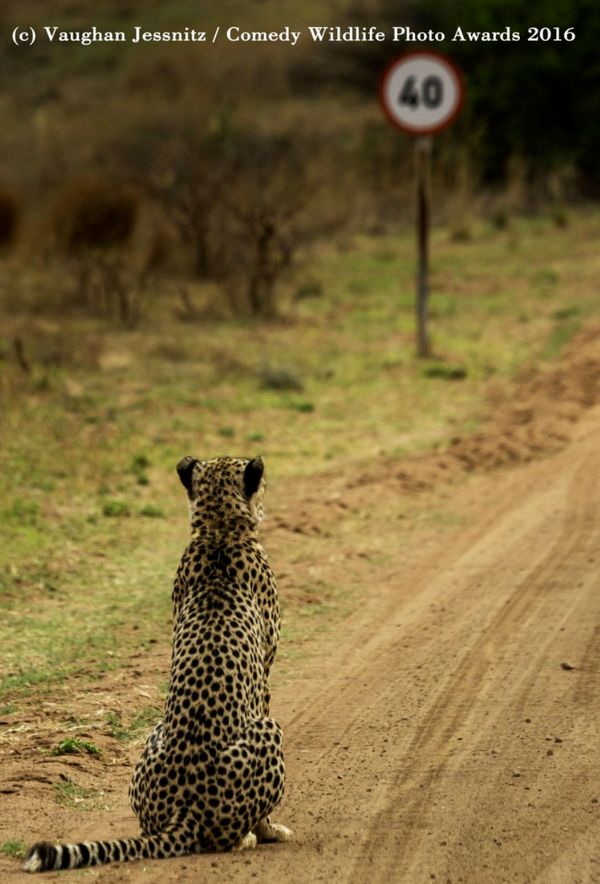 "'Cheetah Pondering The Speed Limit... ""Well this sucks!""': Highly Commended 2016 © Vaughan Jessnitz"