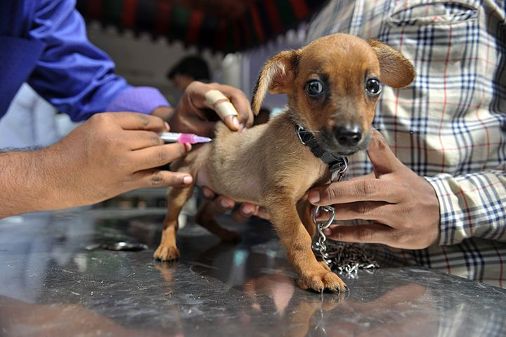 An Indian veterinary clinic employee gives a rabies vaccination to a pet dog.