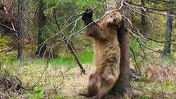 Back-Scratching On Trees Is A Blissful Bear Necessity Of