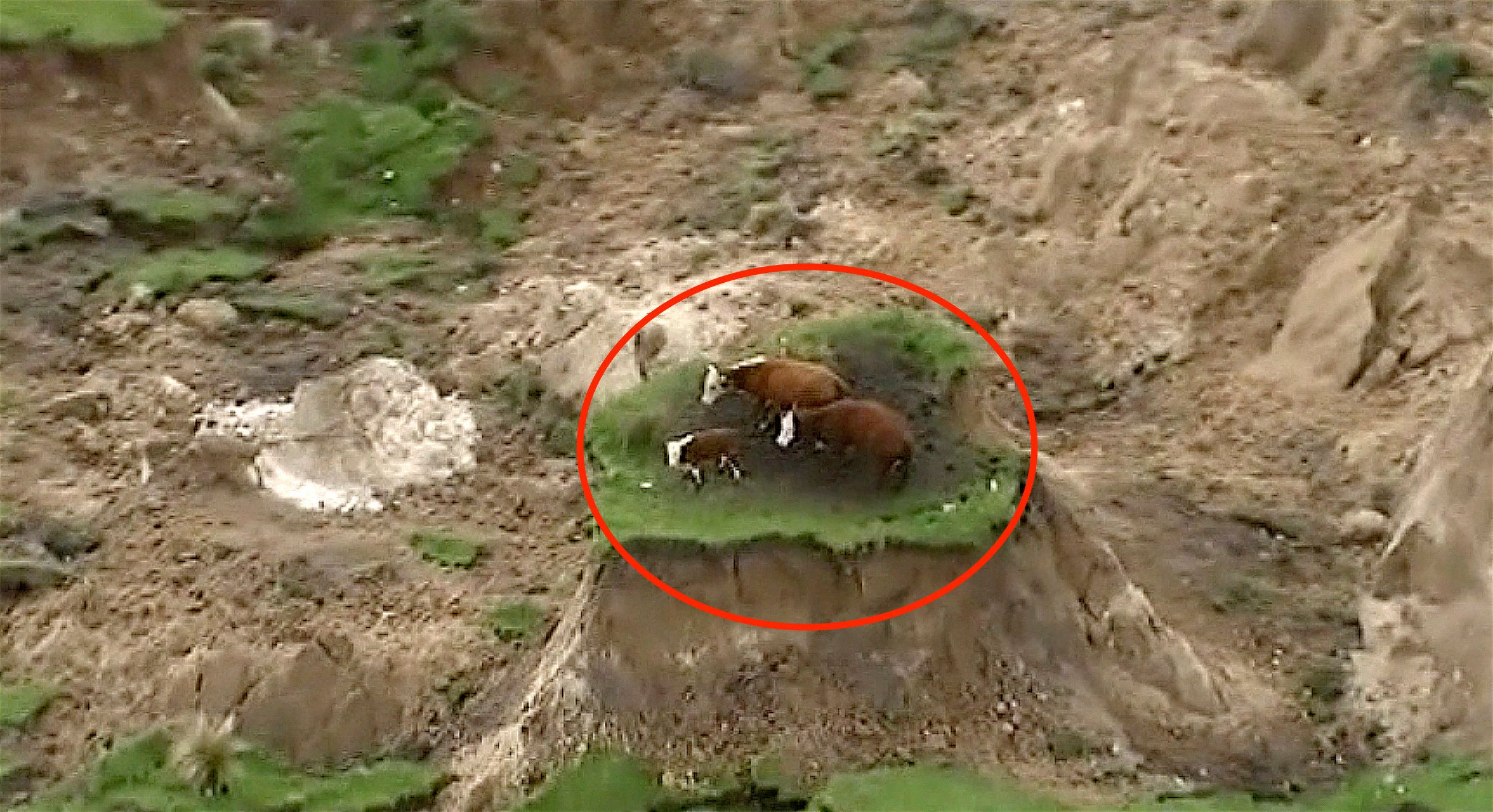 New Zealand Earthquake Leaves 3 Cows Marooned On Tiny