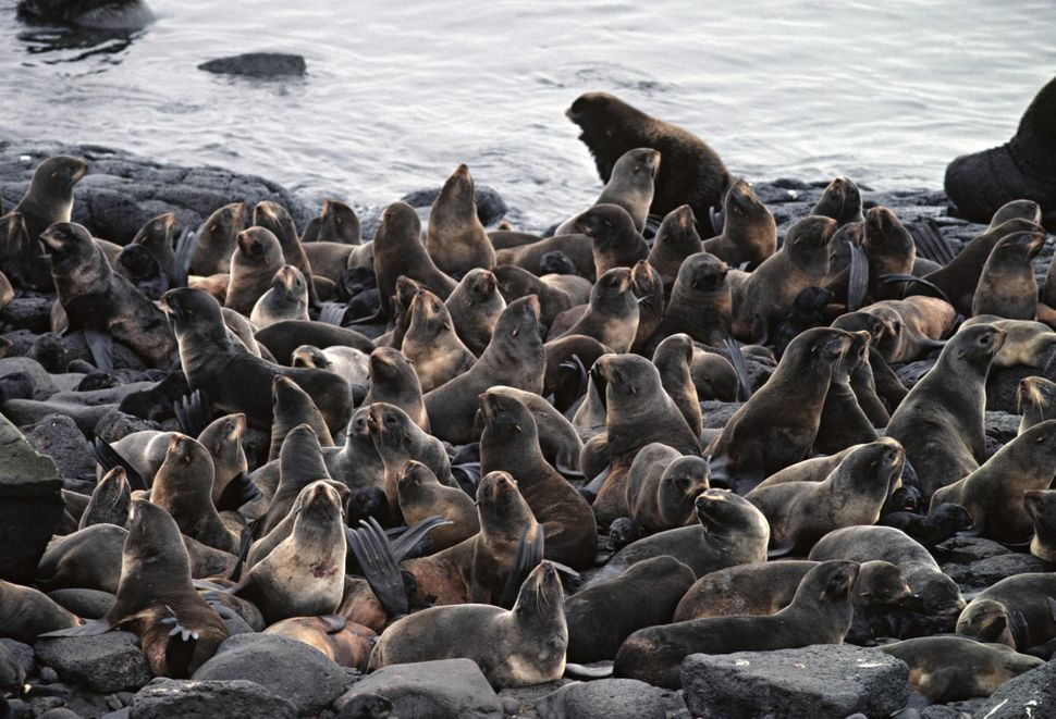 Half the world's northern fur seals breed on St Paul, as do hundreds of thousands of seabirds.