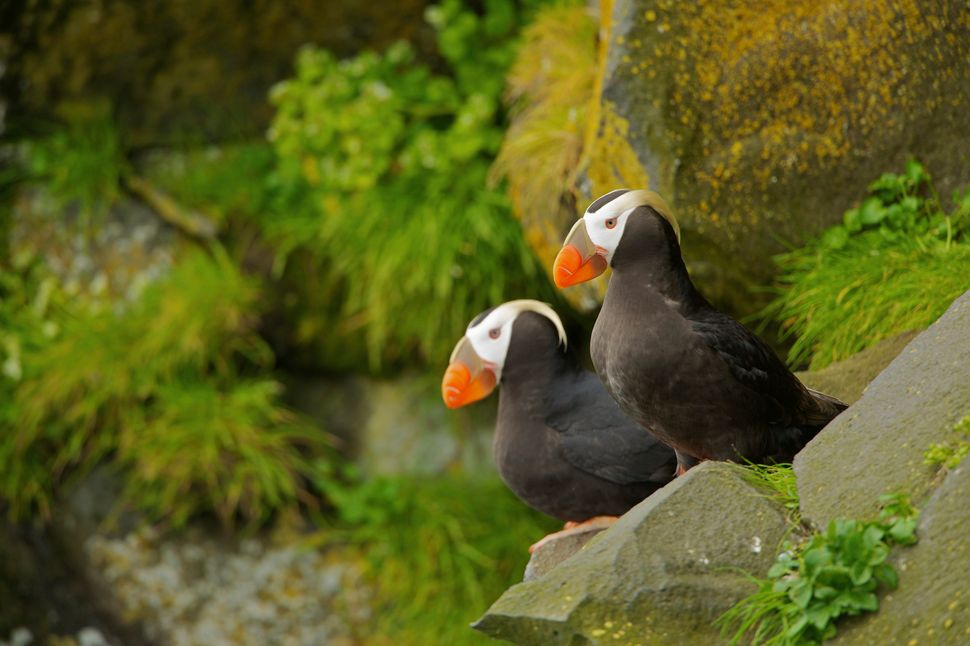 "There are three species of puffin -- the Atlantic, tufted and horned puffin. ""The Atlantic and tufted puffin have been on the"