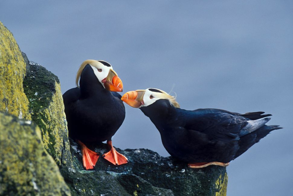 Two tufted puffins engage in a mating ritual on the cliffs of St. Paul. The seabird's population on the island is one of
