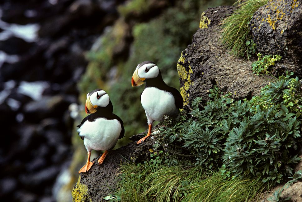 Two horned puffins perch on Alaska's St. Paul island. Hundreds of puffins have washed up dead on the island's rocky shor