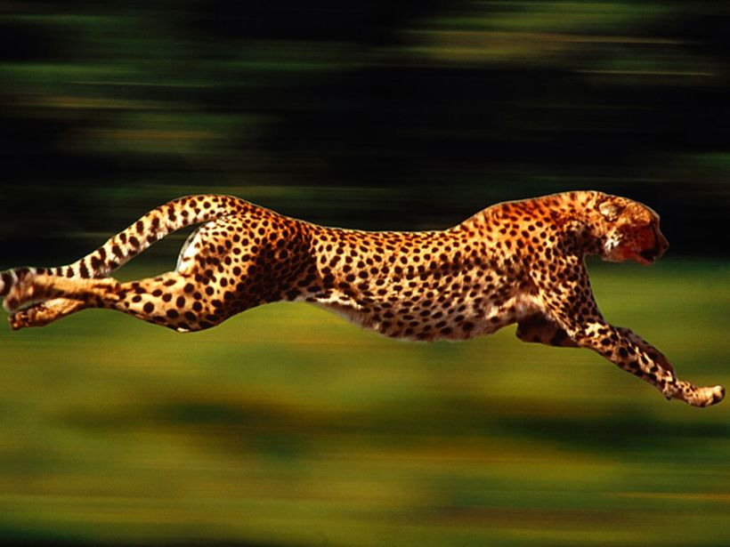 Cheetahs are the fastest land animals. They can reach an astonishing 75mph.