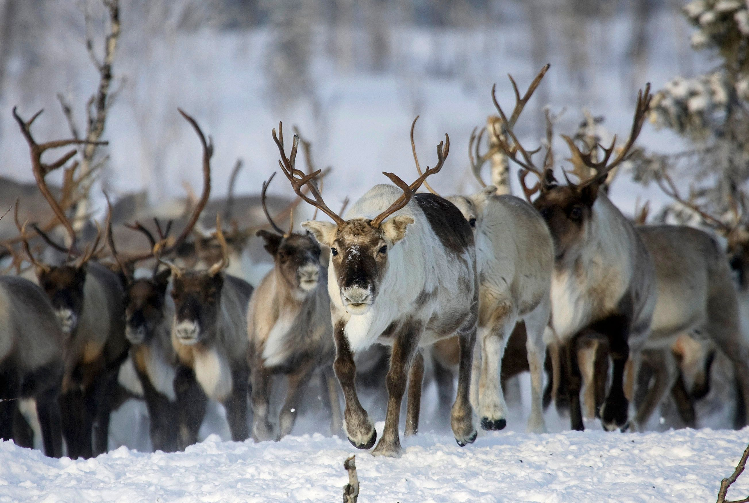 Reindeers graze near a Nenets settlement near the remote village of Gornokniazevsk on the Yamal peninsula, above the polar circle some 2000km (1242 miles) northeast of Moscow, February 27, 2008.  The Nenets are indigenous people in Russia's arctic region north of the Urals. REUTERS/Vasily Fedosenko (RUSSIA)