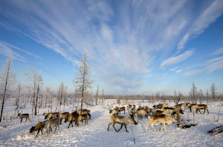 Reindeers graze near a Nenets settlement near the remote village of Gornokniazevsk on the Yamal Peninsula.