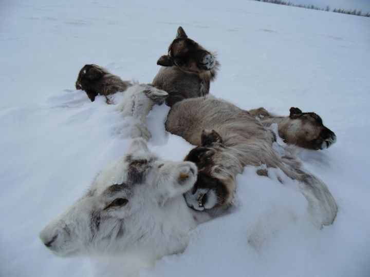 At least 80,000 reindeer died in two mass mortality events in the Yamal Peninsula in the past decade, according to new resear