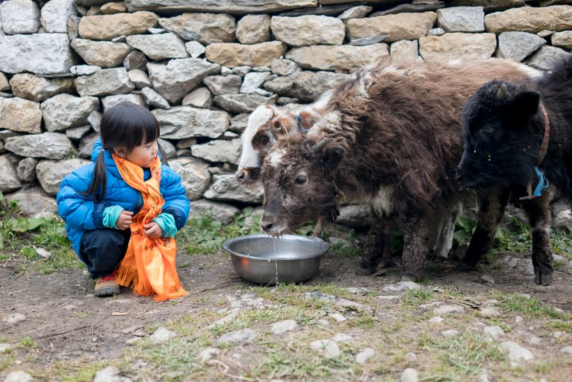 <em>Little Chow gets to feed and interact with some baby yaks in Pangboche, a village 4000m above sea level. This is possibly