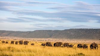A herd of elephants (Loxodonta africana) in the Maasai Mara, Kenya.