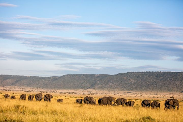 African elephants on in the Mara Conservancy in the Maasai Mara National Reserve in Kenya.