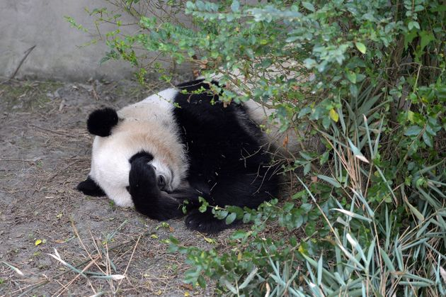 Giant panda Mei Lun sleeps at Chengdu Research Base of Giant Panda Breeding on Nov.