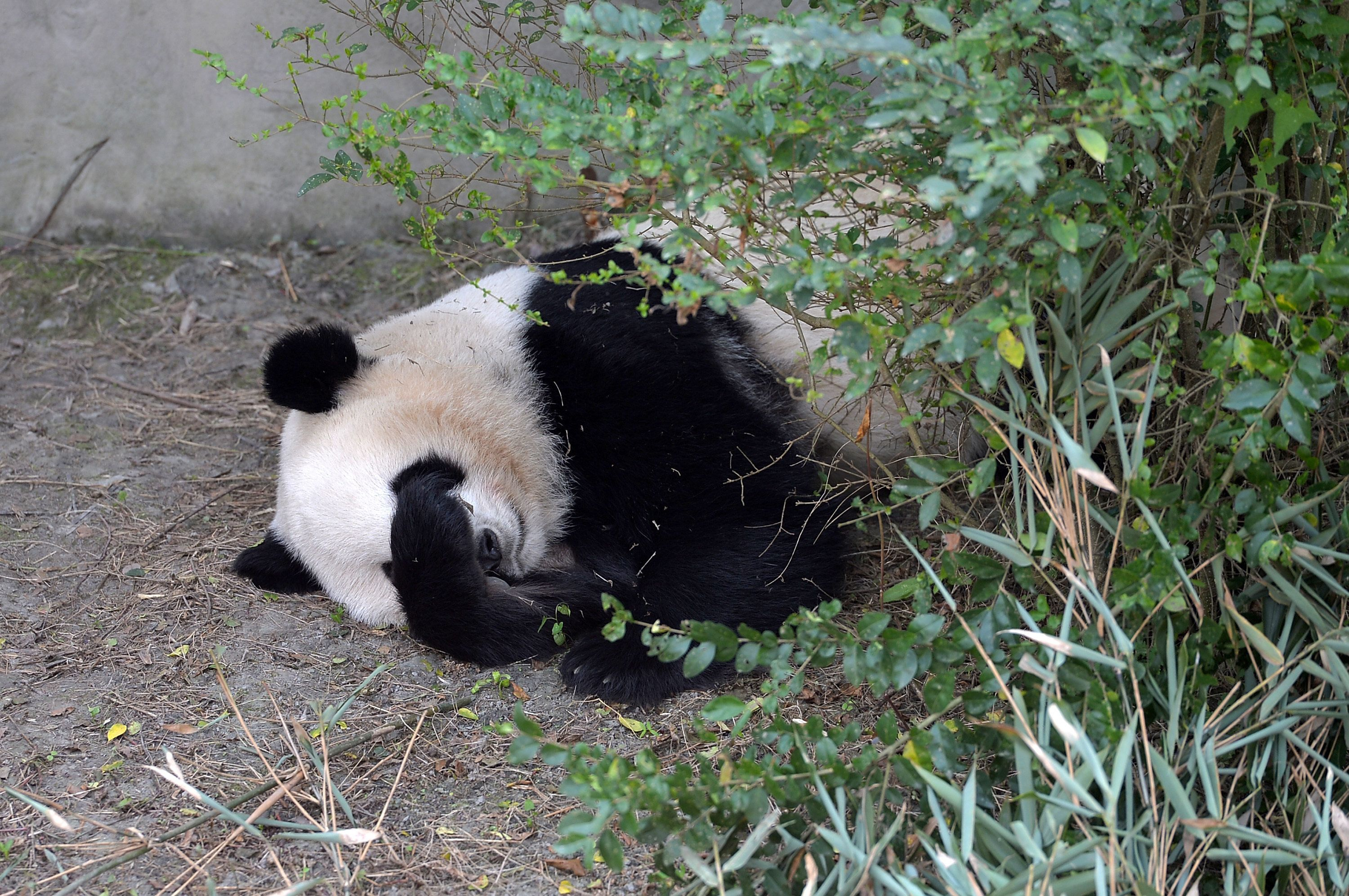 CHENGDU, CHINA - NOVEMBER 16: Giant panda Mei Lun sleeps at Chengdu Research Base of Giant Panda Breeding on November 16, 2016 in Chengdu, Sichuan Province of China. American born female giant panda twins Mei Lun and Mei Huan came back on Nov 5 and lived in the Chengdu Research Base of Giant Panda Breeding. The twins were born at Atlanta Zoo in 2013 by giant panda Lun Lun who arrived in the US with male panda Yang Yang in 1999. (Photo by Wang Qin/Chengdu Economic Daily/VCG via Getty Images)