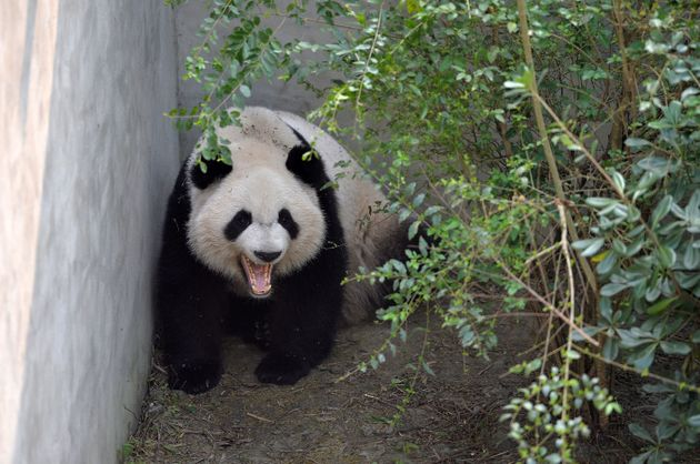 Giant panda Mei Lun yawns at Chengdu Research Base of Giant Panda Breeding on November 16, 2016 in Chengdu,...