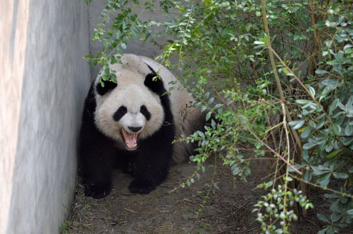 Giant panda Mei Lun yawns at Chengdu Research Base of Giant Panda Breeding on November 16, 2016 in Chengdu, Sichuan Province
