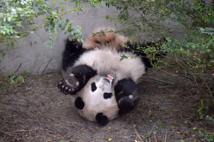 Giant panda Mei Huan lies on the ground at Chengdu Research Base of Giant Panda Breeding.