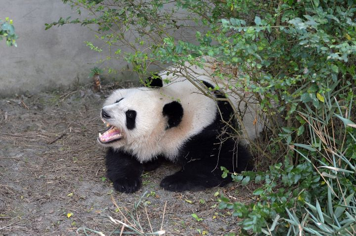 Giant panda Mei Huan yawns at Chengdu Research Base of Giant Panda Breeding on November 16, 2016.