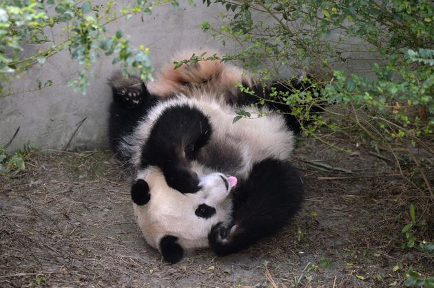 Giant panda Mei Huan yawns at Chengdu Research Base of Giant Panda Breeding on November 16,
