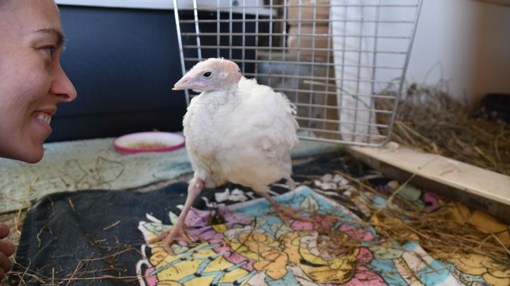 Avery, re-learning to walk and stand. When Americans meet birds like Avery, they fall in love and want them protected from ha