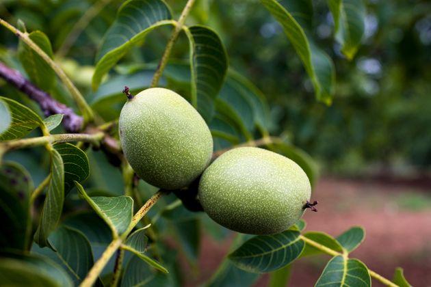 A walnut