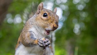 A close-up of a squirrel enjoying eating a nut with a forest background.