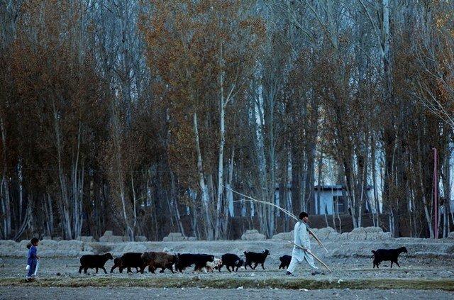 An Afghan man walks with his livestock in Bamiyan, Afghanistan, on Nov. 6, 2016.