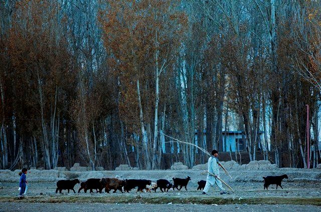 An Afghan man walks with his livestock in Bamiyan, Afghanistan, on Nov. 6, 2016.