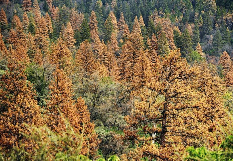 Millions of additional stressed Californian trees are expected to expire in the coming months.