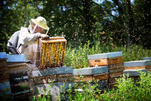 Commercial beekeepers have been known to employ questionable practices, such as feeding their bees with high fructose corn sy