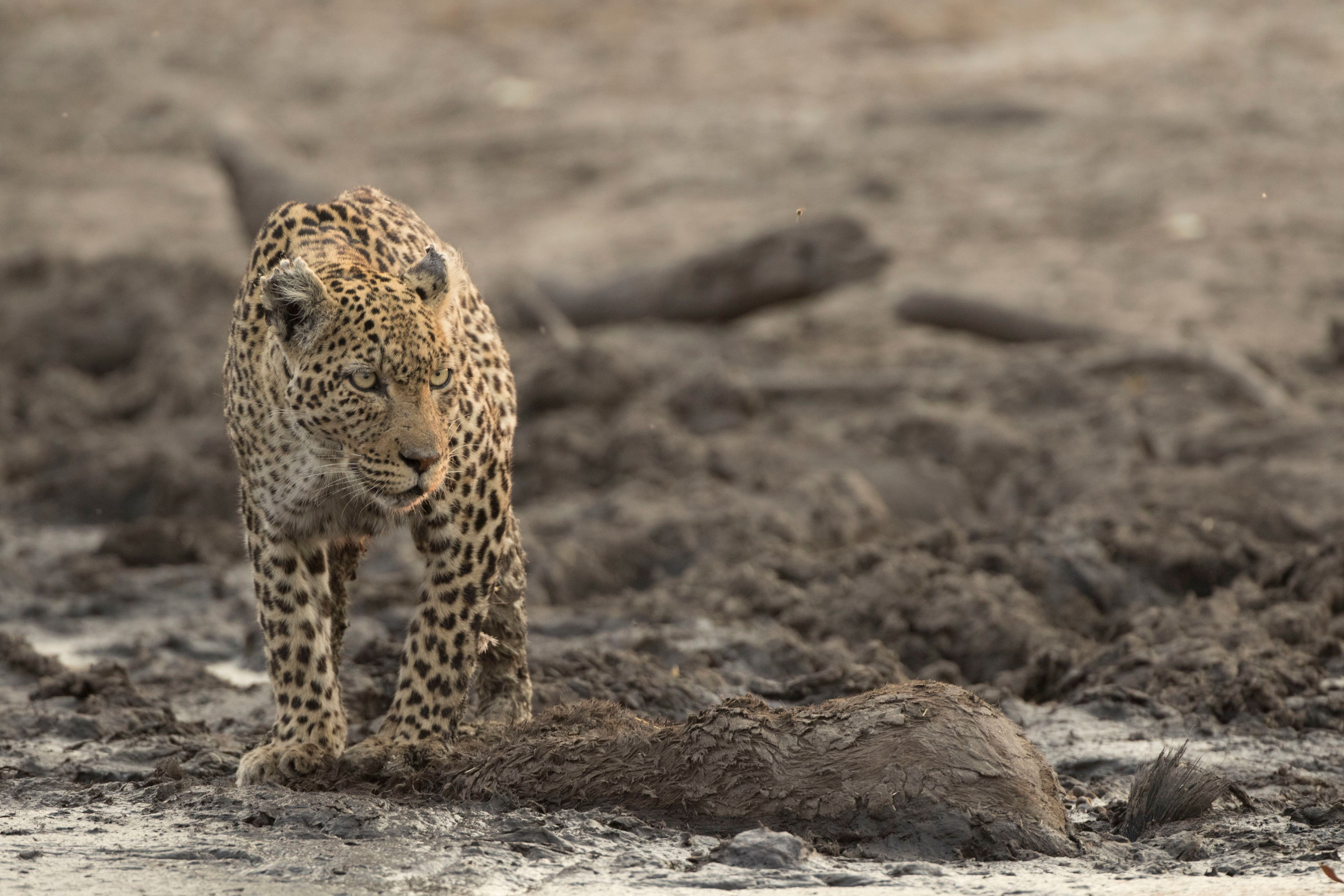 """A leopard dubbed """"Torn Ear,"""" featured in Nat Geo WILD's miniseries """"Savage Kingdom."""""""